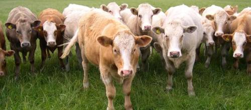 Cows in a field - Conformity and Individuality