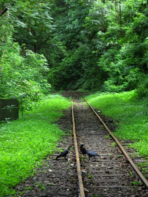 Crows on the train track - Sanjay Gandhi National Park