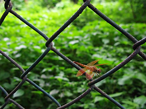 Dragonfly on a fence - Mahim Nature Park