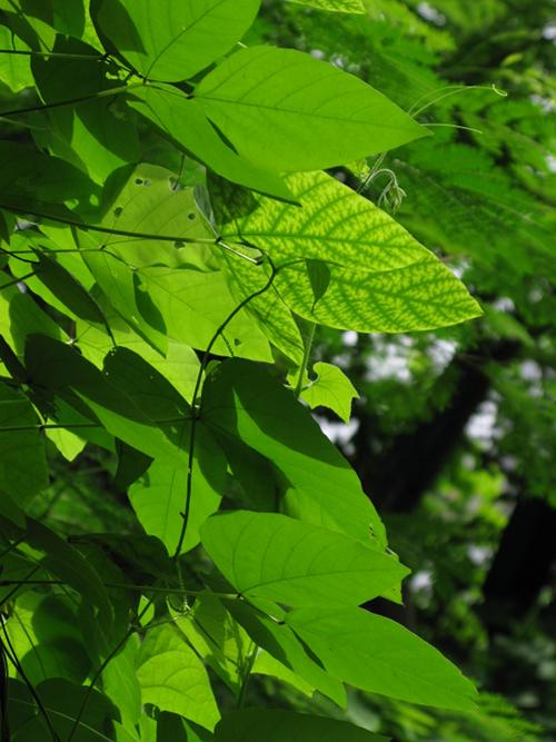 Leaves in the Sun - Mahim Nature Park