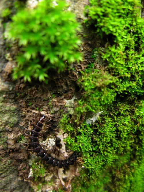 Millipede eating moss - Sanjay Gandhi National Park