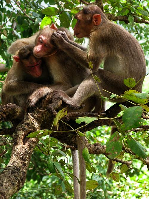 Monkeys grooming - Borivali National Park