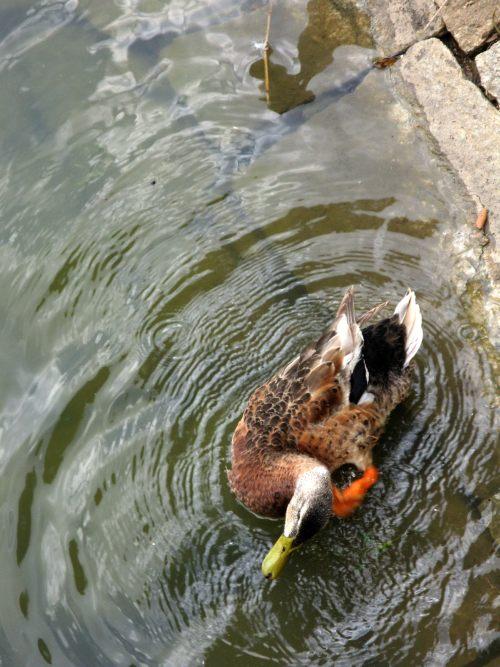 Preening duck at Lal Bagh