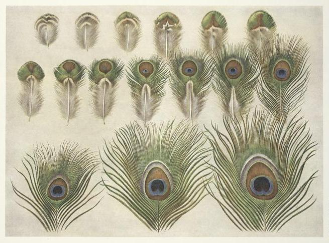 Evolution of the eye in a peacock feather