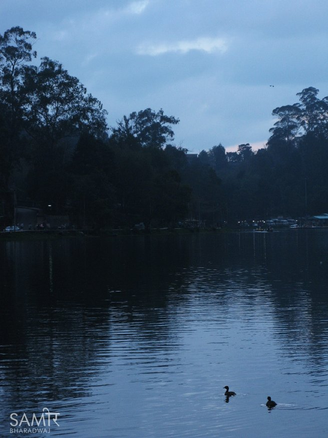 Ducklings swimming along Kodaikanal lake at twilight
