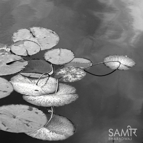 Lotus leaves in the waters of the lake reflecting the sky