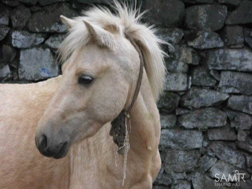 Palomino pony in front of a stone wall