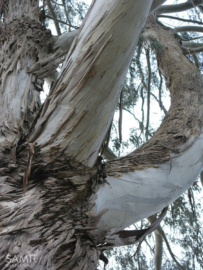 Twisted branches of a eucalyptus tree with characteristic peeling bark